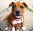 Staffordshire Bull Terrier, 6 months, brown